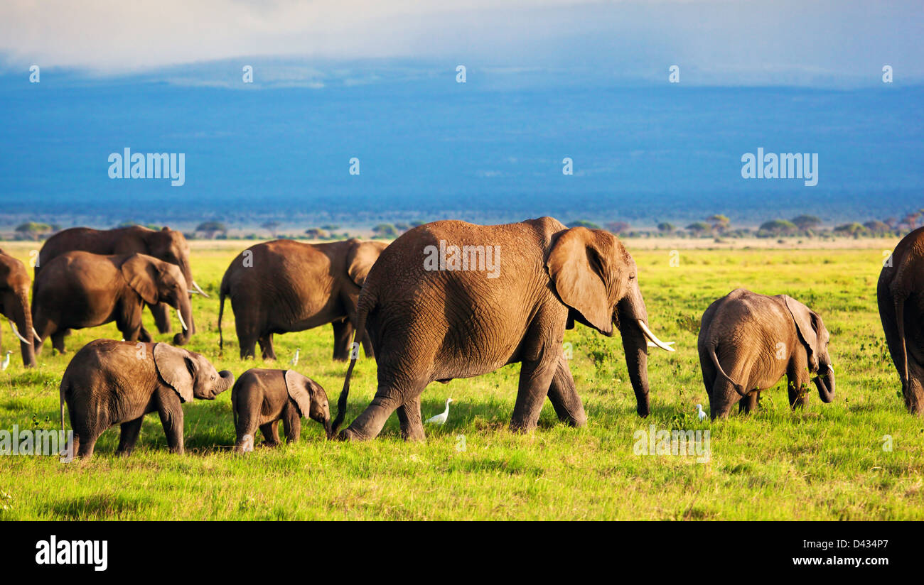 Troupeau d'éléphants d'Afrique dans le Parc national Amboseli, Kenya, Africa Photo Stock