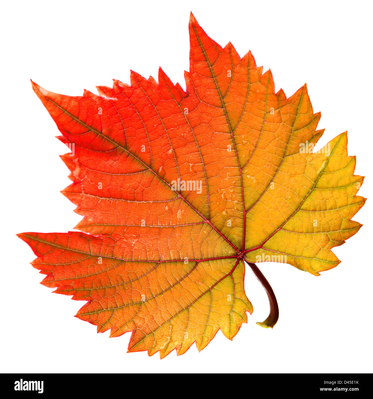 Couleur chaude rouge Grape leaf isolated on white Banque D\'Images ...
