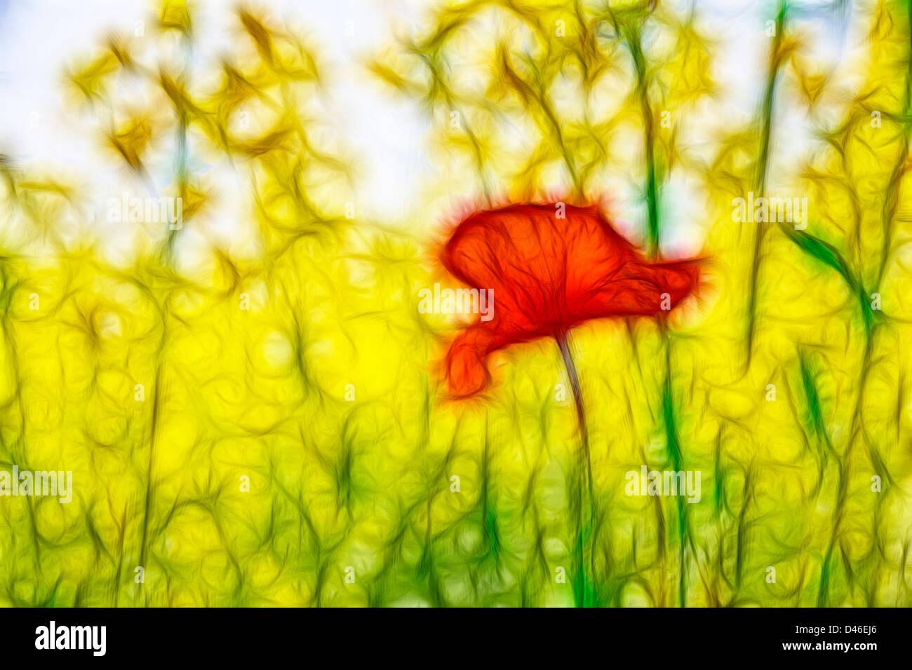 Pavot Orange est largement sous soleil de l'été en plein essor Photo Stock