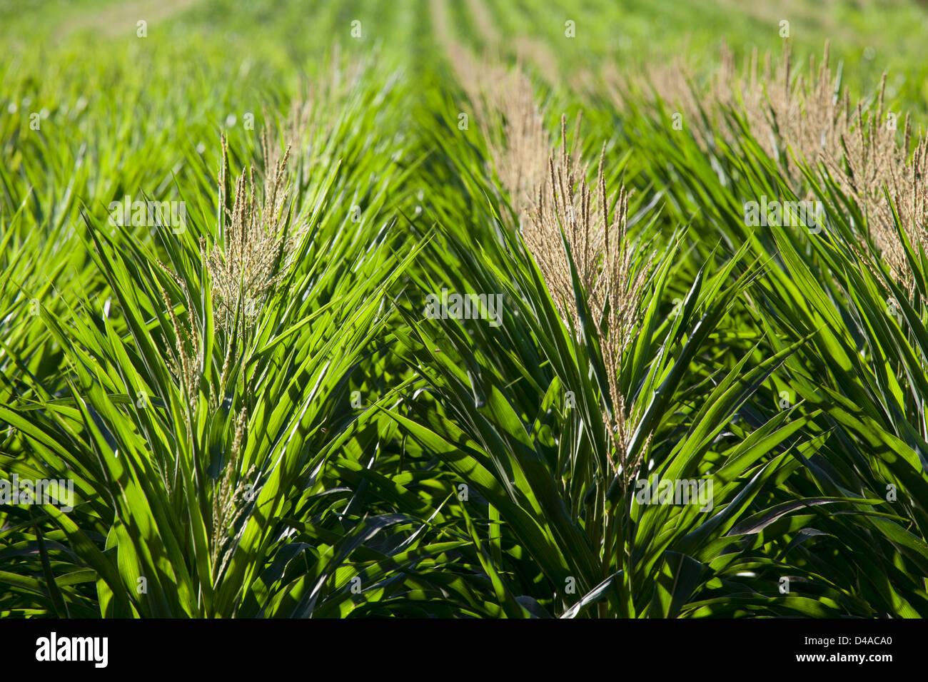 Le maïs génétiquement modifié à Hawaii. Photo Stock