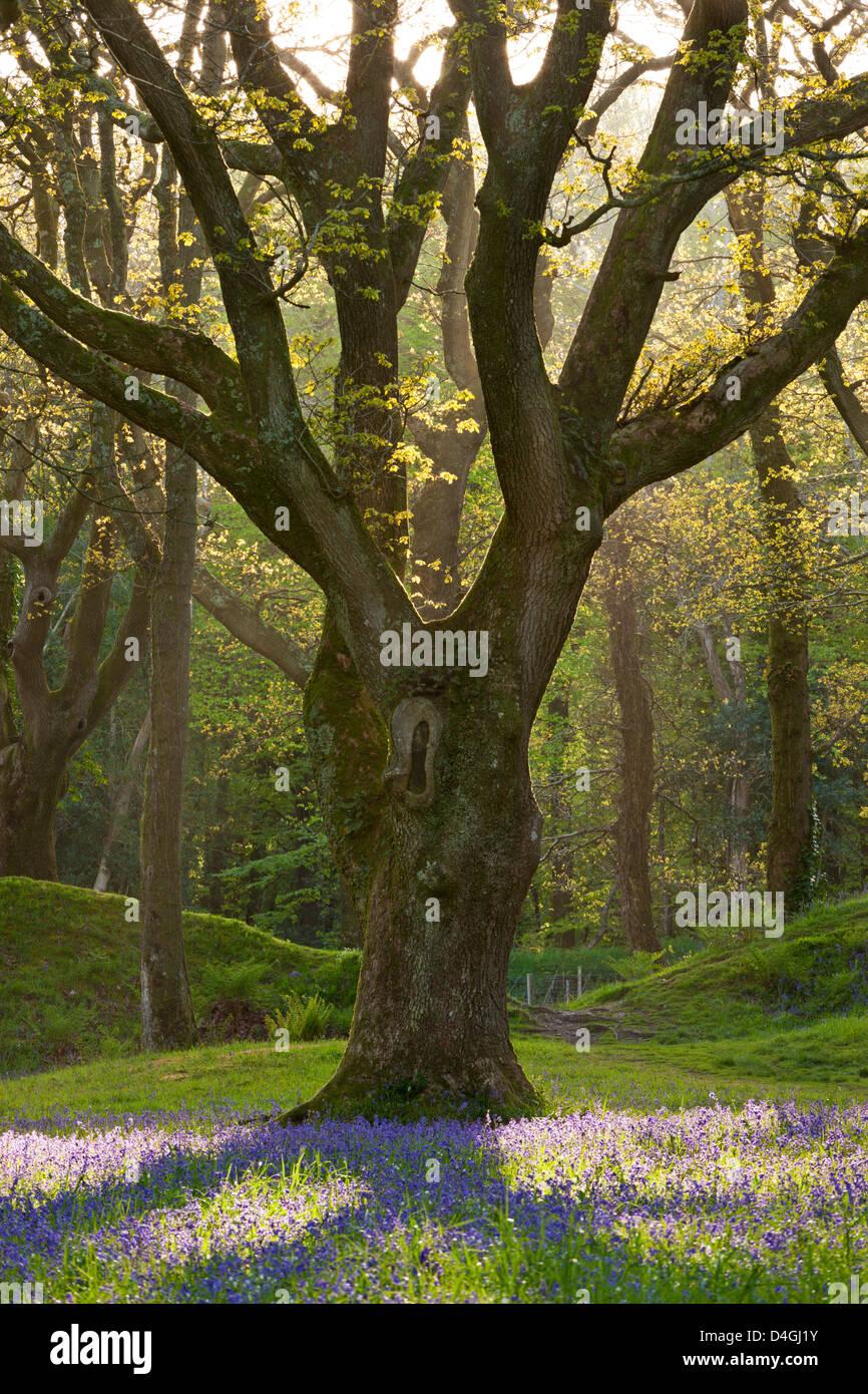 Tapis Bluebell sous chêne mature, Blackbury Camp, Devon, Angleterre. Printemps (mai) 2013. Photo Stock