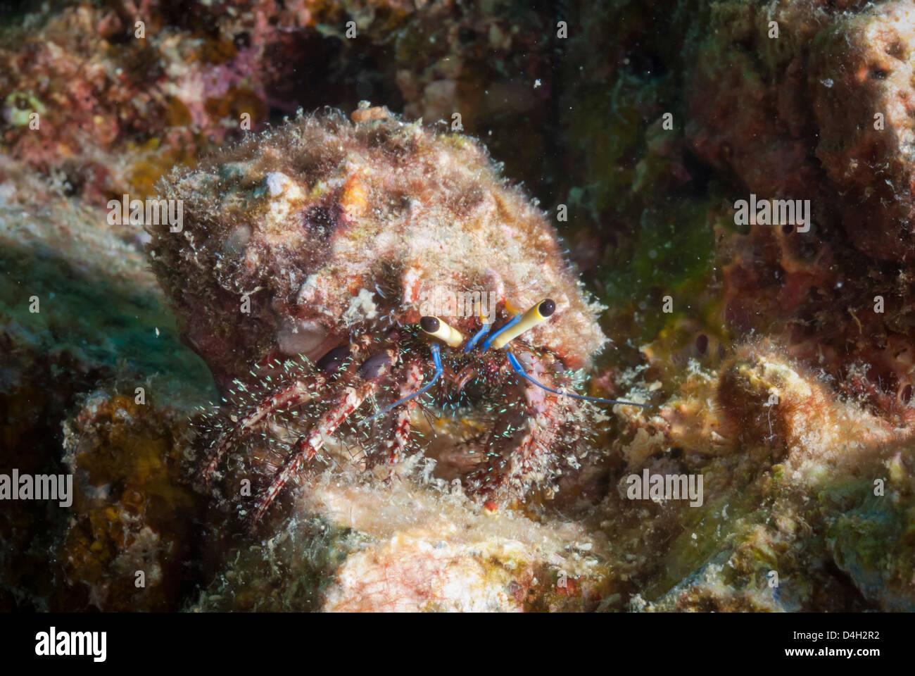 L'ermite velu (Aniculus elegans), SouthernThailand, la mer d'Andaman, l'Océan Indien, en Asie du Photo Stock