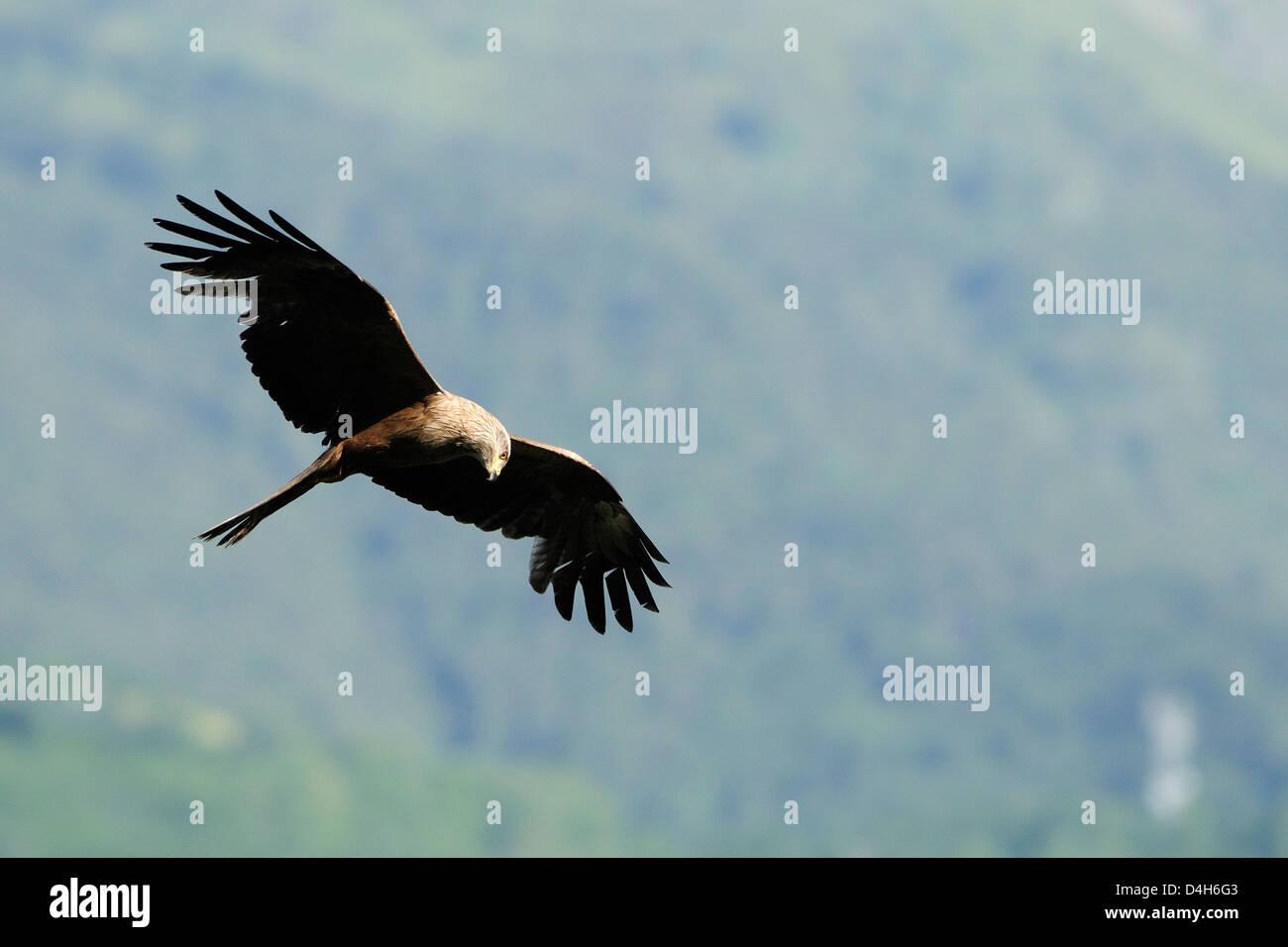 Milan noir (Milvus migrans) dans la chasse au vol de passereaux, Luz Saint Sauveur, Haute-Pyrenees, France Banque D'Images