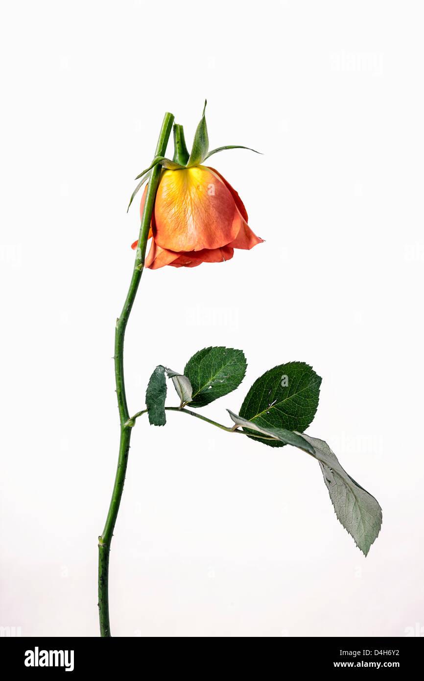 une rose cassée Photo Stock