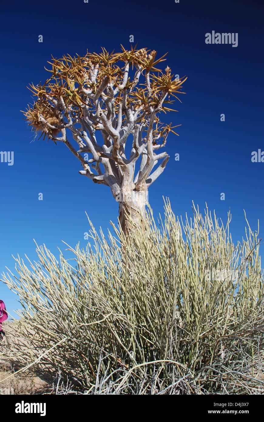 Quiver Tree (aloe dichotoma). Fish River Canyon. La Namibie Photo Stock