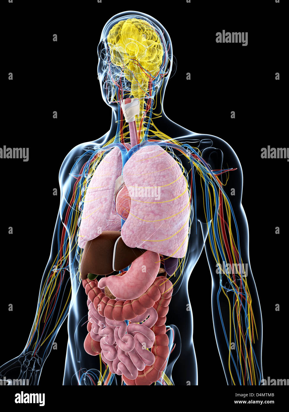 Anatomie Masculine Photo anatomie masculine banque d'images, photo stock: 54548155 - alamy