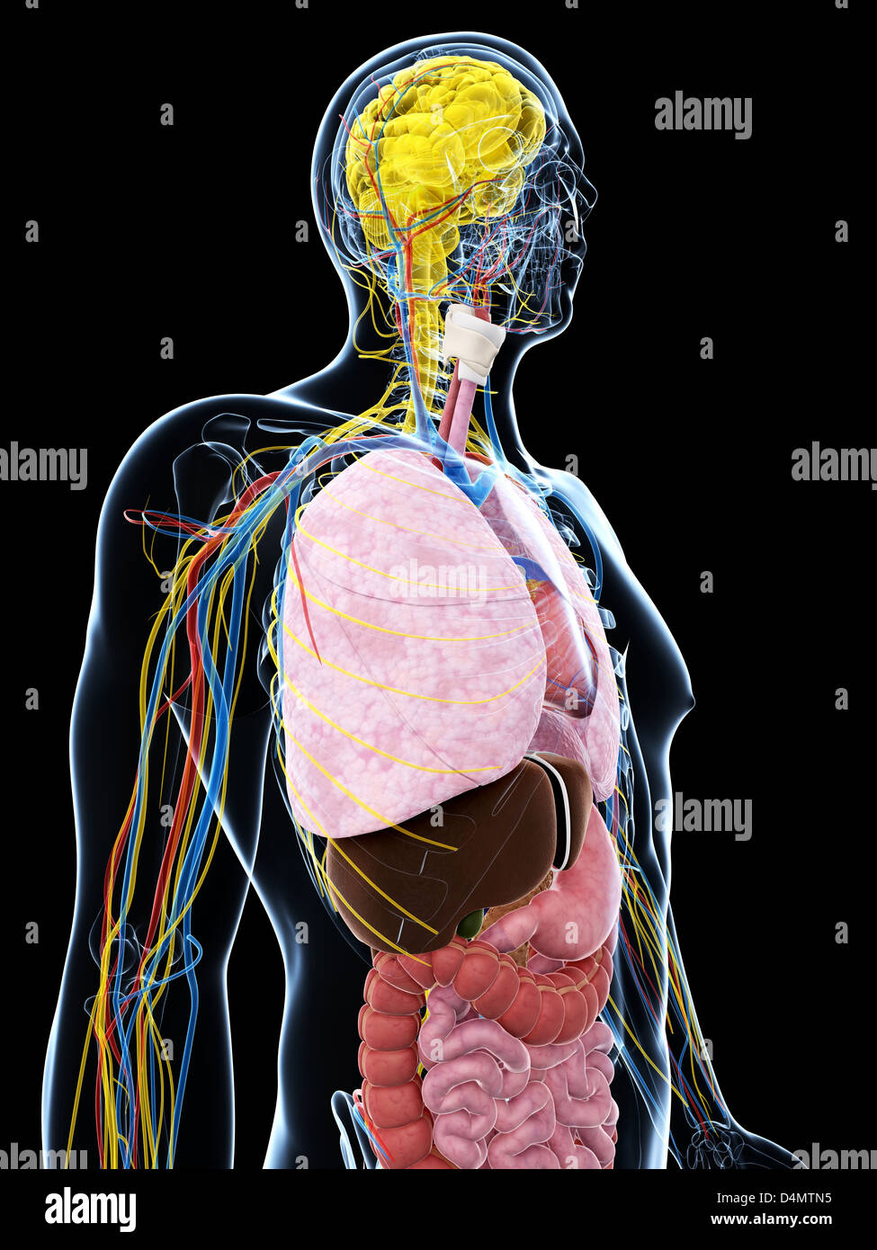 Anatomie Masculine Photo anatomie masculine banque d'images, photo stock: 54548177 - alamy