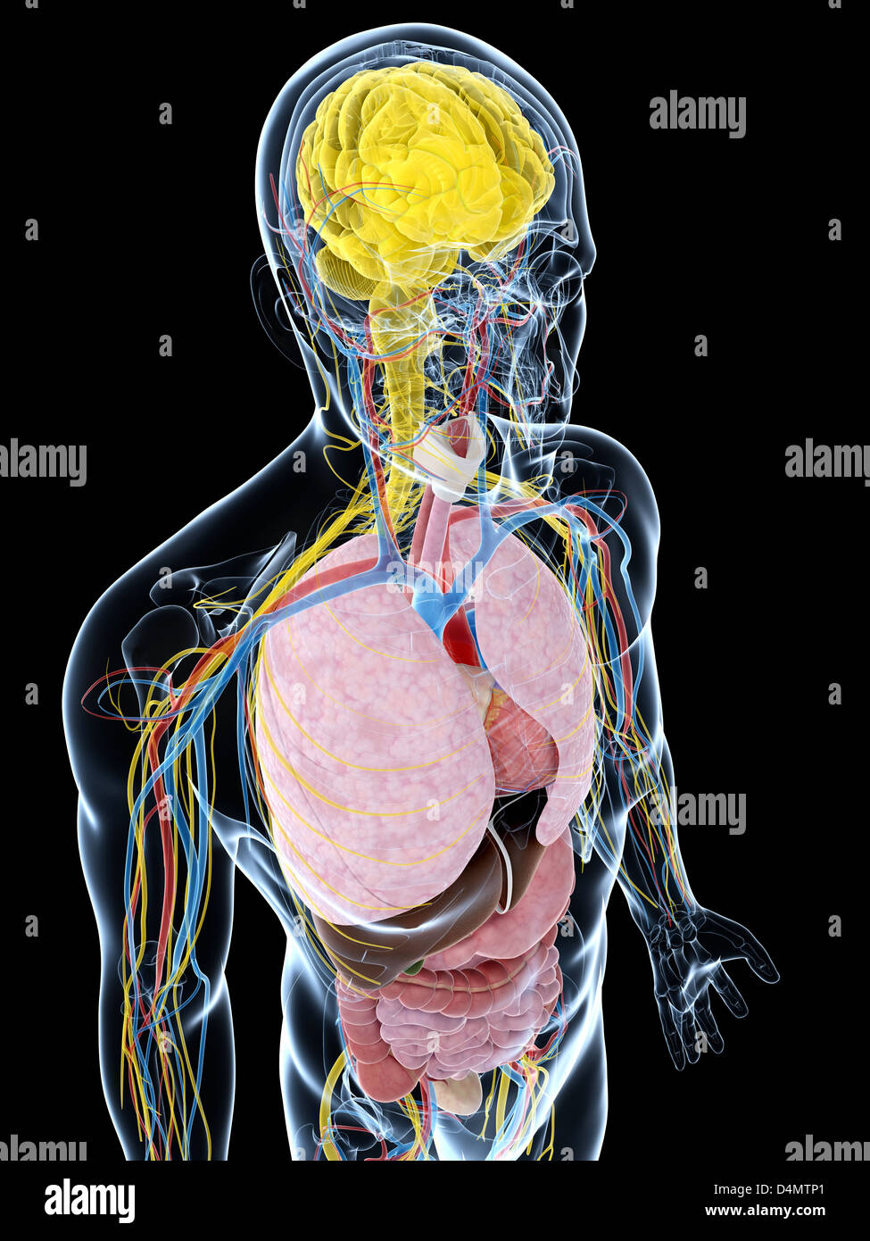Anatomie Masculine Photo anatomie masculine banque d'images, photo stock: 54548201 - alamy