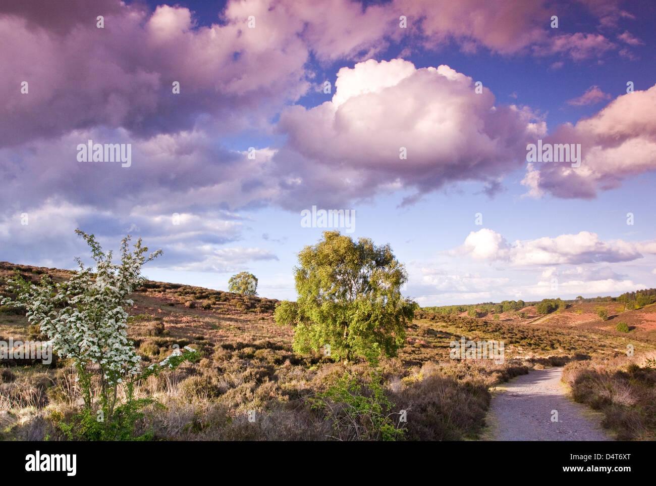 Arbres chemin pied sur les collines de bruyères Cannock Chase Country Park AONB (région de beauté Photo Stock