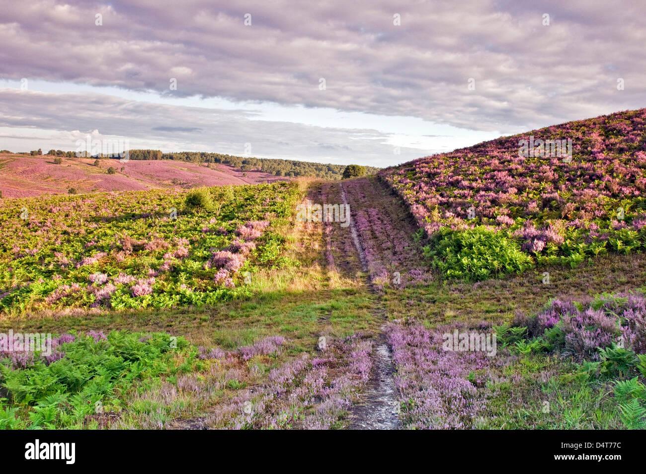 Chemin à travers les collines de landes de bruyère en fleur vue vers la vallée de Sherbrook en été Photo Stock