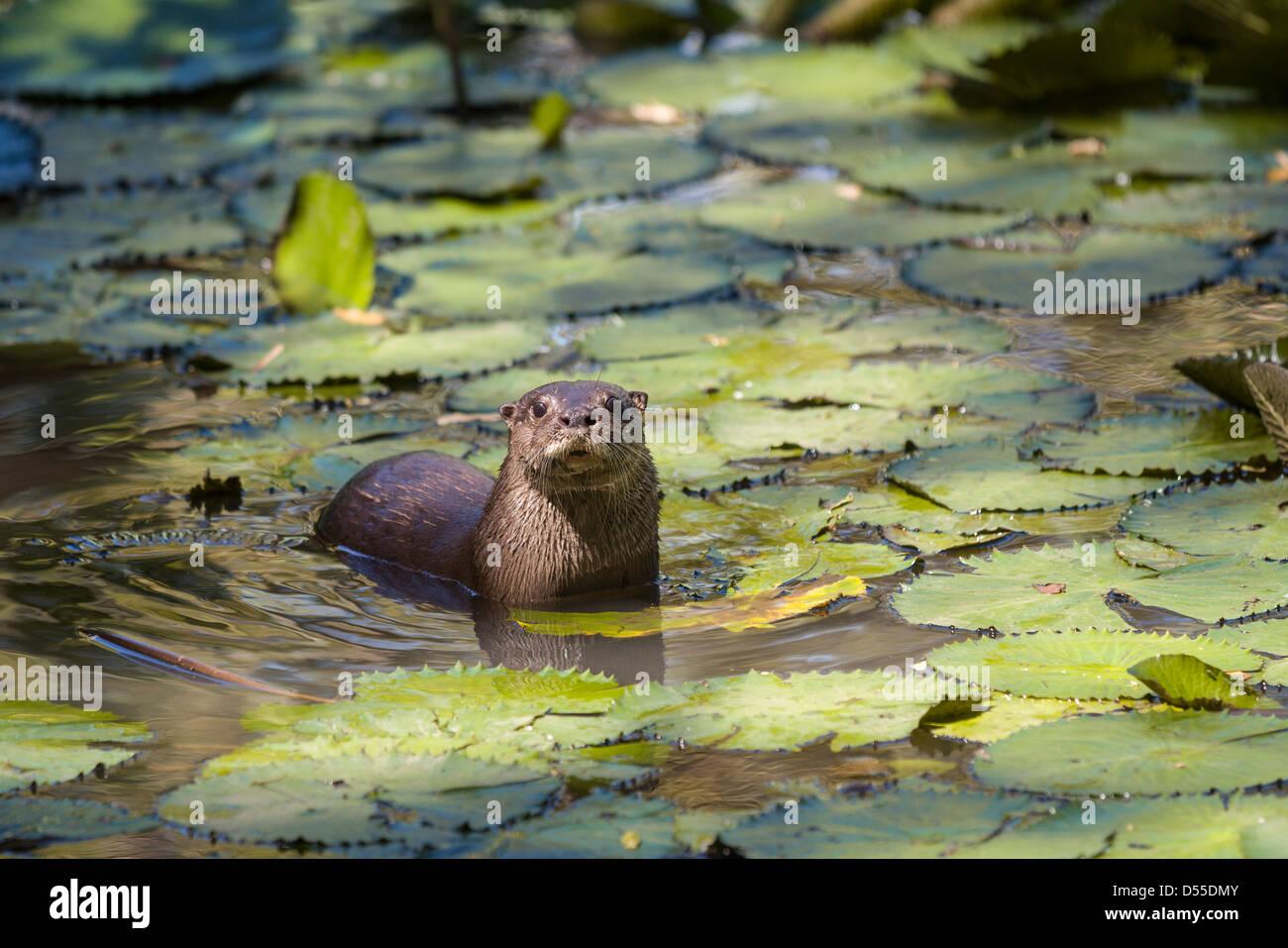 Neotropical loutre de rivière (Lontra longicaudis) à Las Pumas à Cañas, Province de Guanacaste, Costa Rica. Banque D'Images
