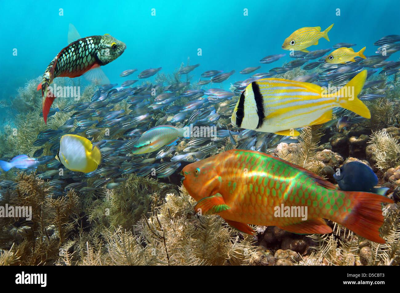 La plongée dans un récif de corail avec des bancs de poissons colorés Photo Stock