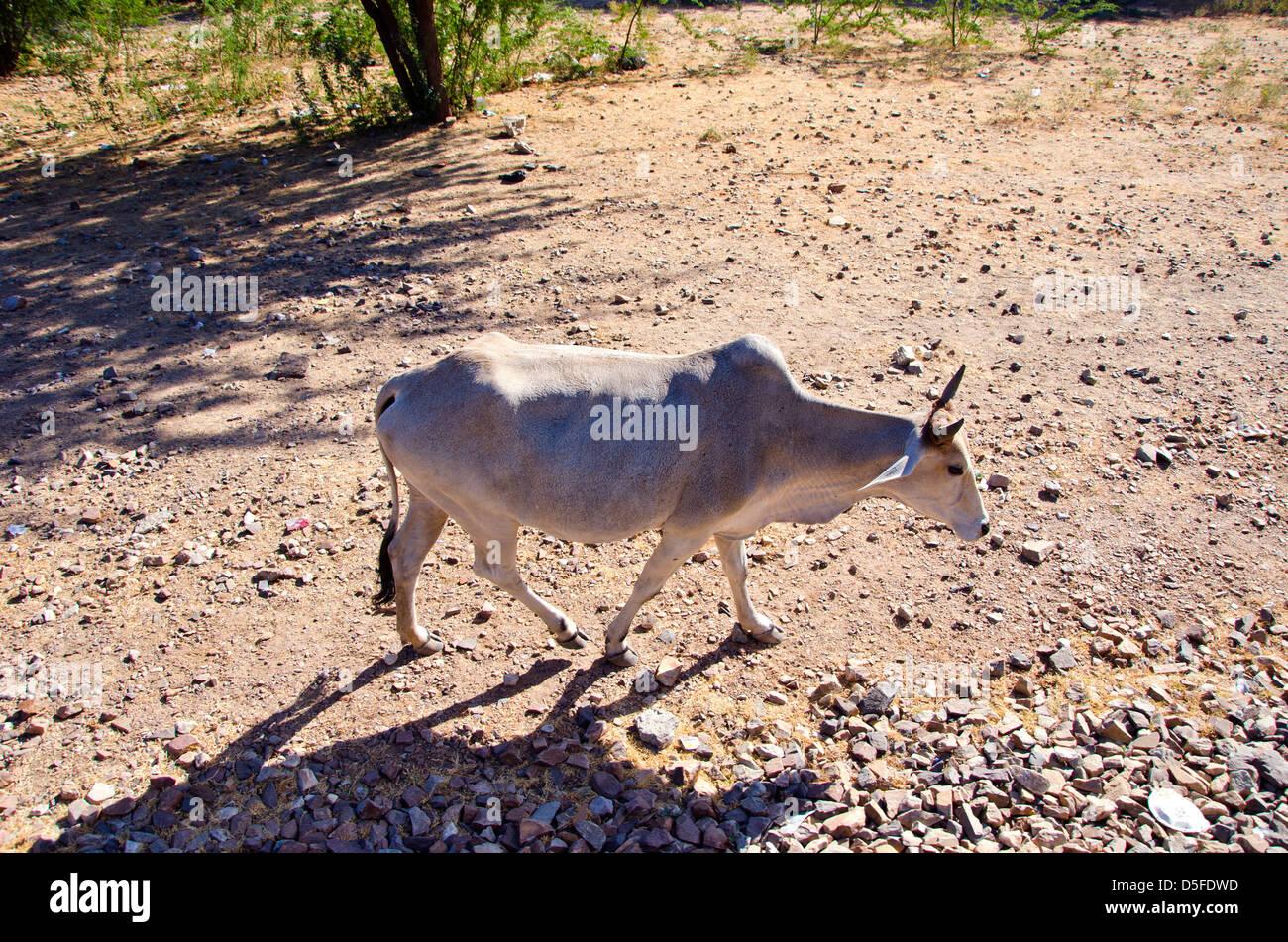 Une vache sacrée au Rajasthan, Inde Photo Stock