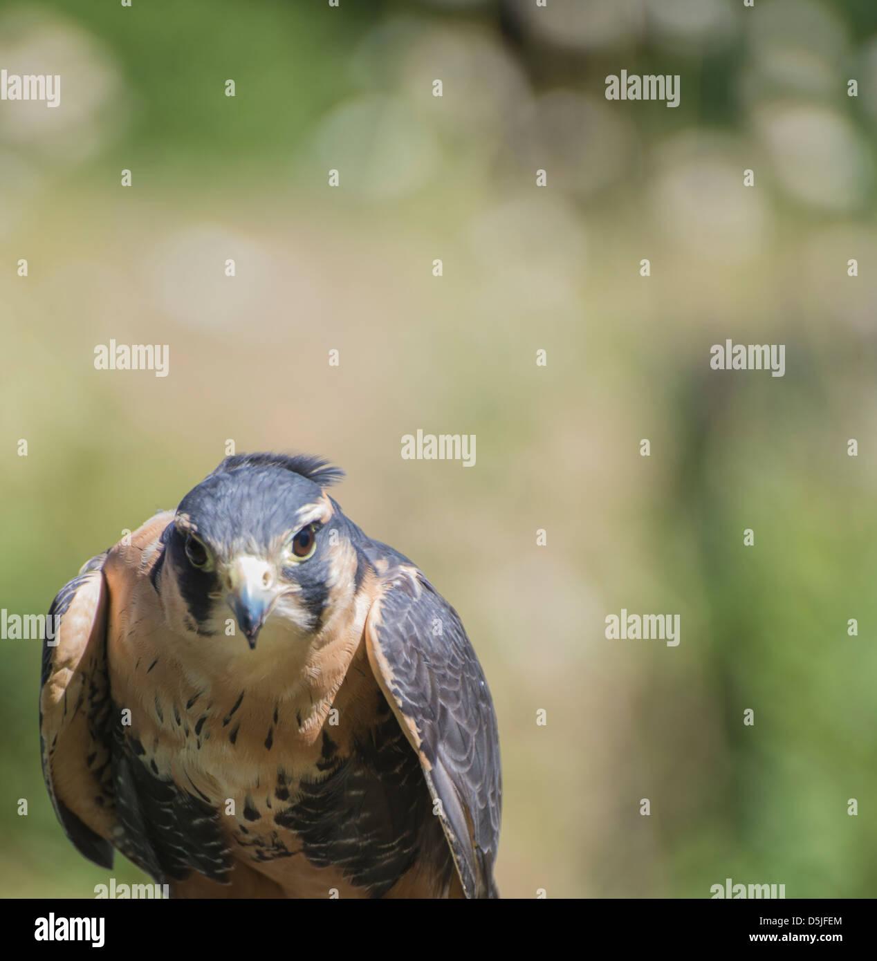 Hawk à avec beaucoup d'intérêt directement dans l'appareil photo. Photo Stock
