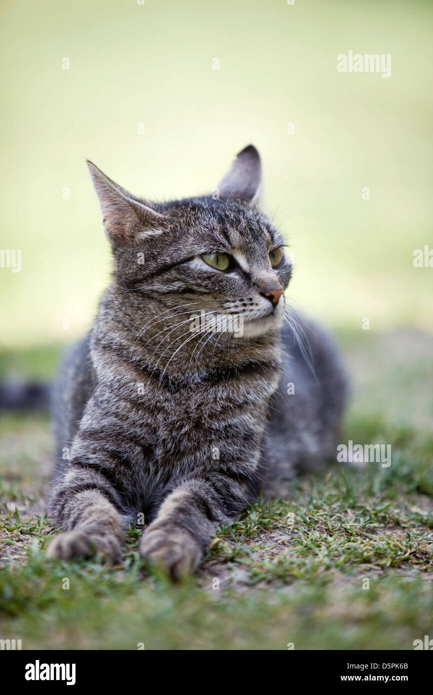 Cat portant sur l'herbe verte Photo Stock
