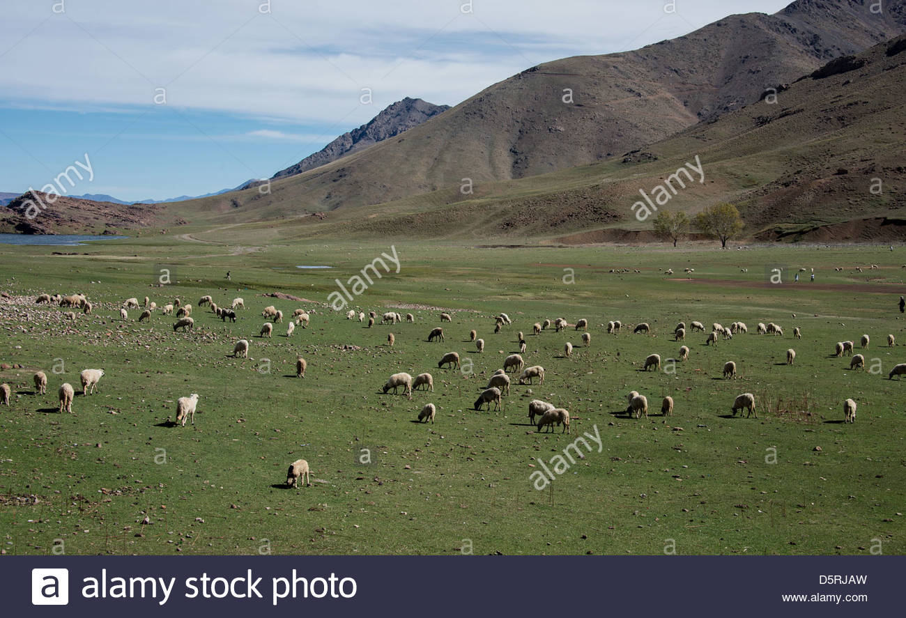 Troupeau de moutons dans les montagnes de l'Atlas. Photo Stock