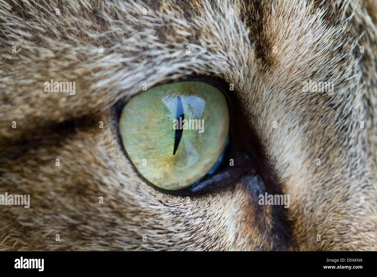 Œil de chat domestique Photo Stock