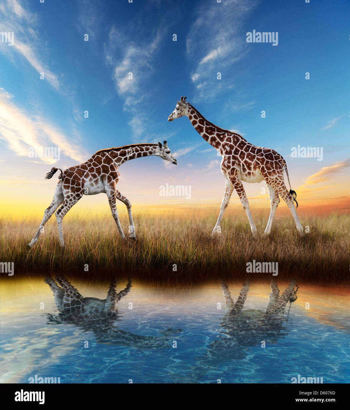 Deux Girafes au coucher du soleil avec de l'eau reflet Photo Stock
