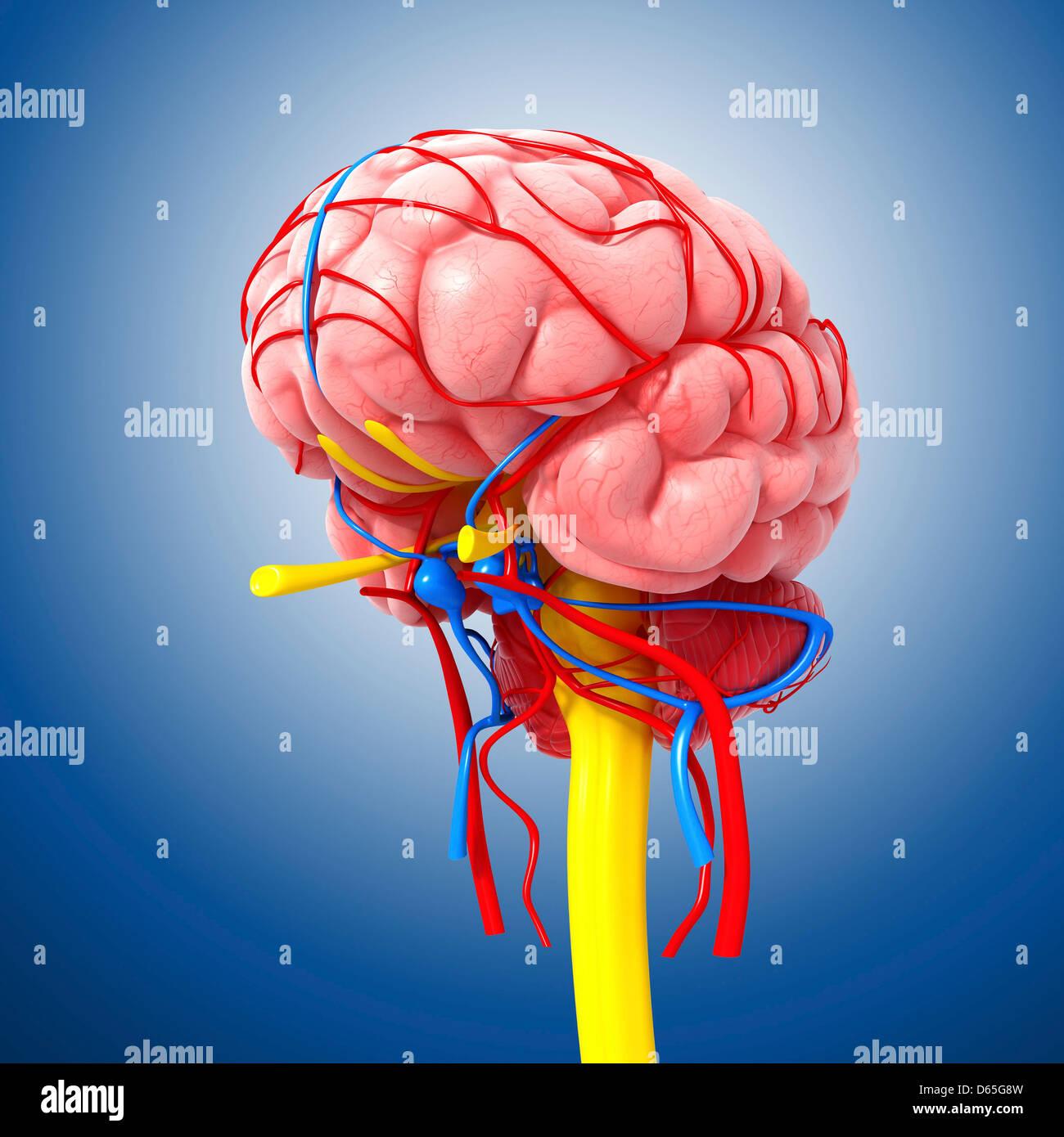 L'anatomie du cerveau, artwork Photo Stock