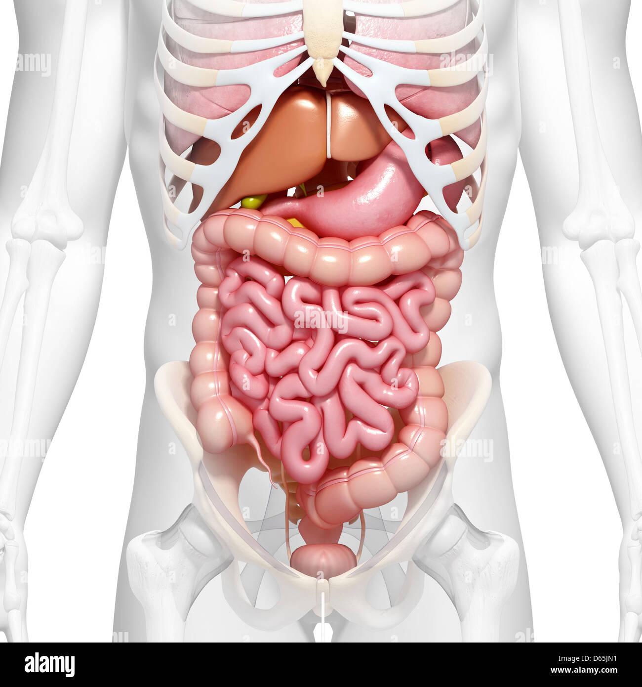 Anatomie de l\'abdomen, artwork Banque D\'Images, Photo Stock ...