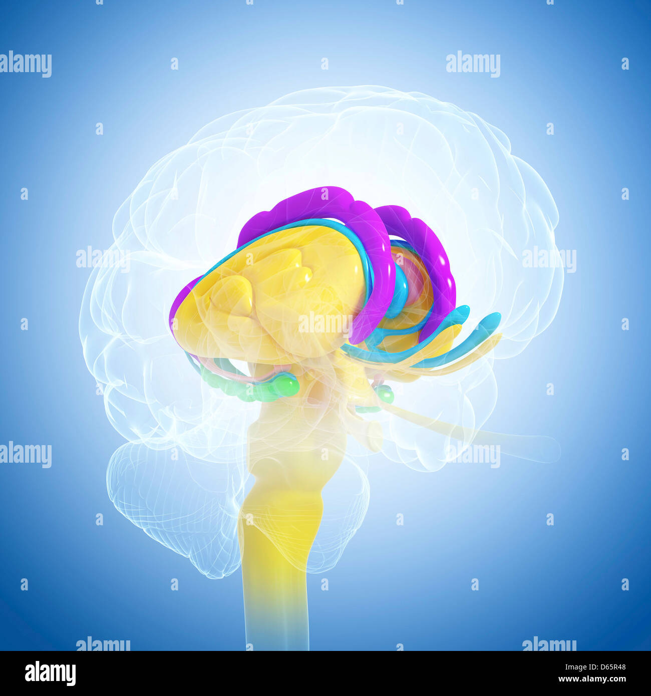 L'anatomie du cerveau, artwork Photo Stock