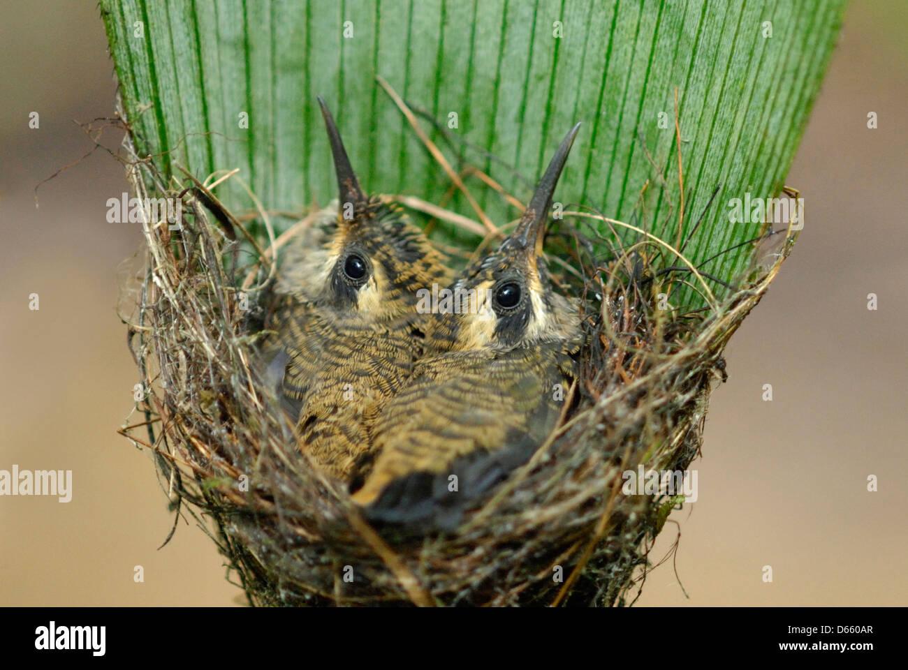 Hummingbird Ermite à longue queue (Phaethornis longirostris) poussins dans le nid Photo Stock
