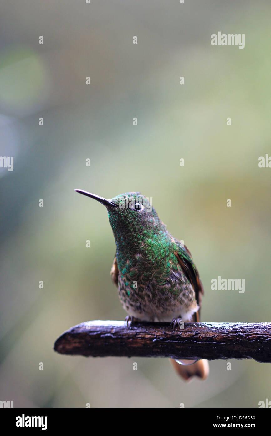 Un oiseau de ronflement s'asseoir dans une des forêts brumeuses de la Colombie Photo Stock