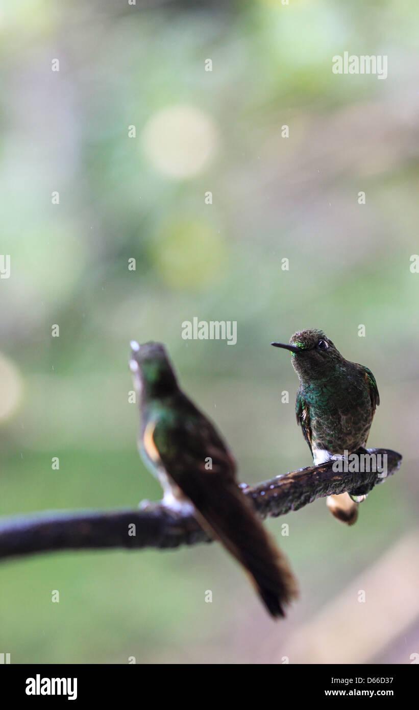 Deux Humming Bird s'asseoir dans une des forêts brumeuses de la Colombie Photo Stock
