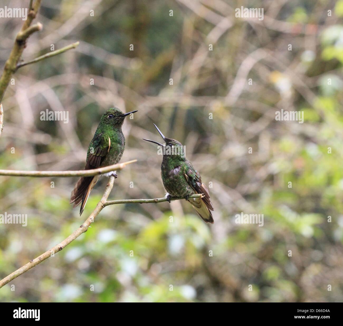Deux des colibris dans le Parc National de Cocora, Colombie Photo Stock
