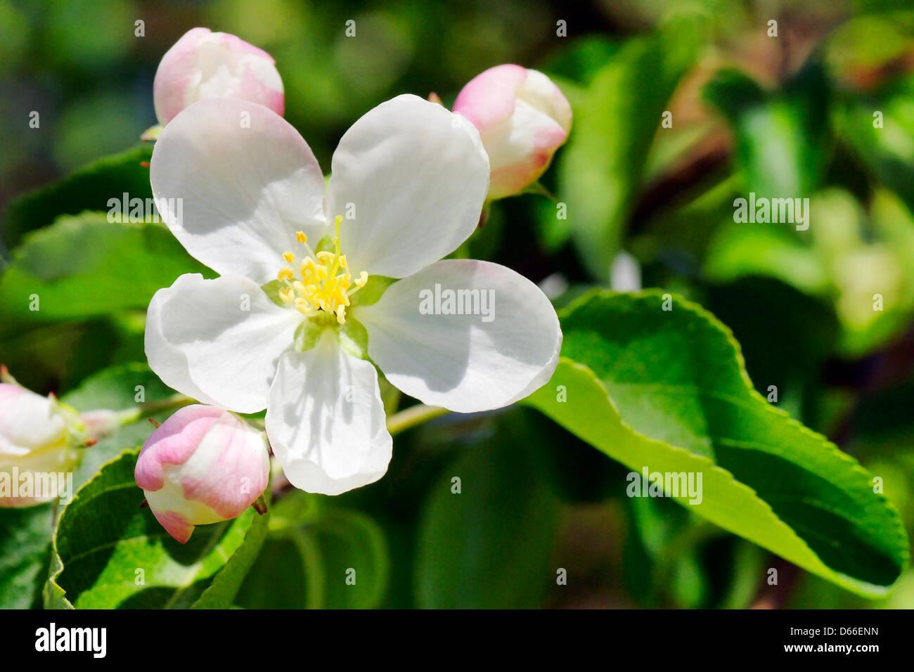 La saison du printemps belle fleur de pommier en fleurs Photo Stock