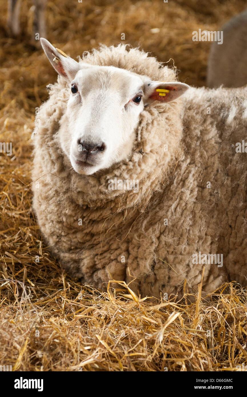 Vowley Royal Wootton Bassett Wilts ferme moutons brebis du travail du travail pen maternité Bébé Photo Stock