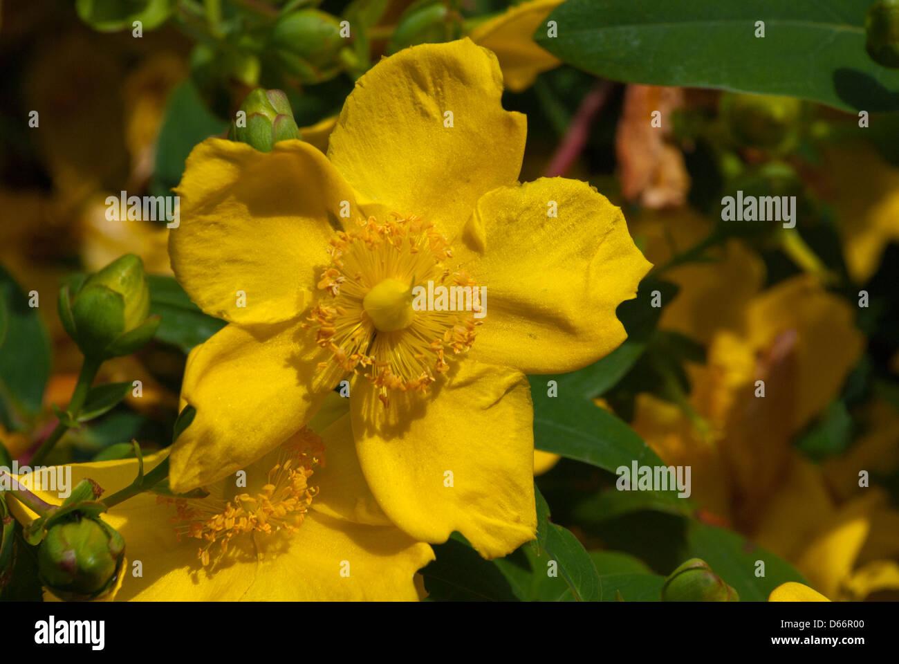 Eranthis Hyemalis Aconit D Hiver De Vivaces De Plantes A Fleurs
