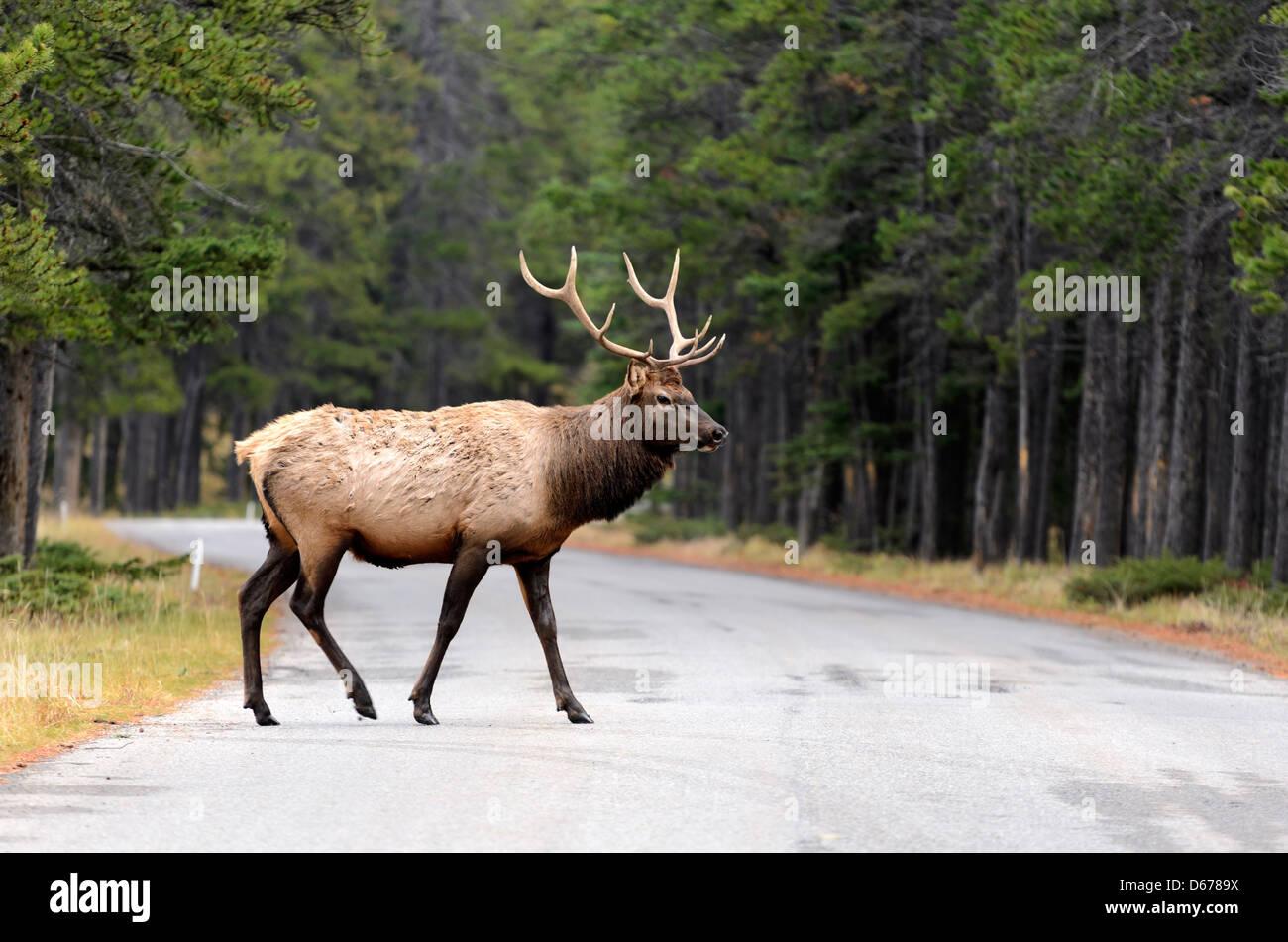 Homme Wapiti (Cervus canadensis) crossing road dans le parc national de Banff Alberta Canada Banque D'Images