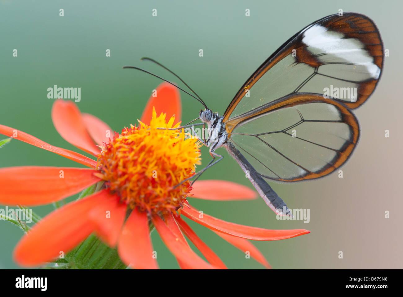 Glasswinged butterfly (Greta oto) Alimentation par une fleur dans la serre aux papillons à Sinaia, Somerset Photo Stock
