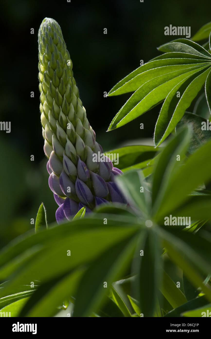 Fleur de lupin Photo Stock