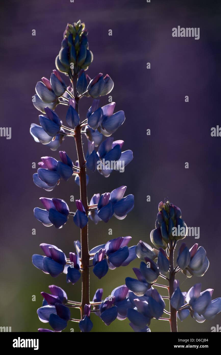 Fleurs de lupins Photo Stock