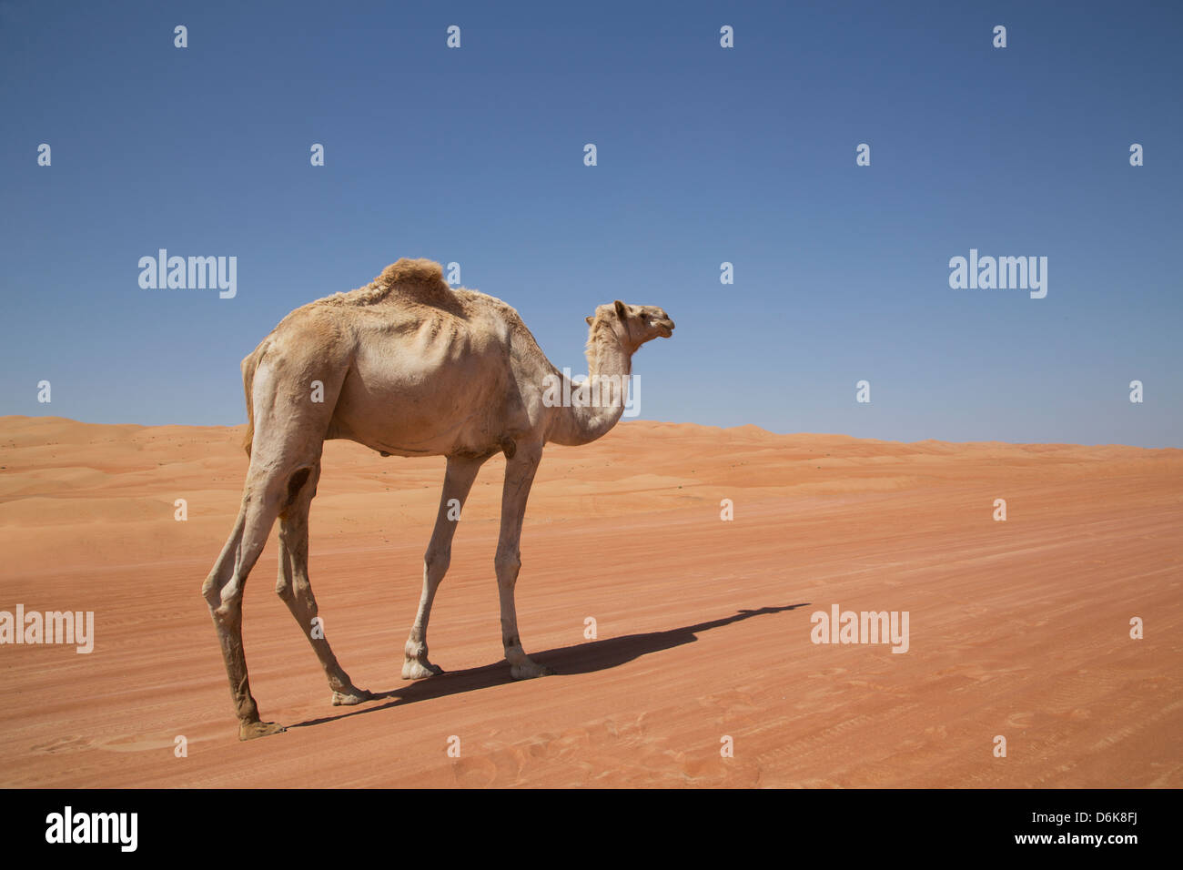 Chameau dans le désert Wahiba, Oman, Middle East Banque D'Images