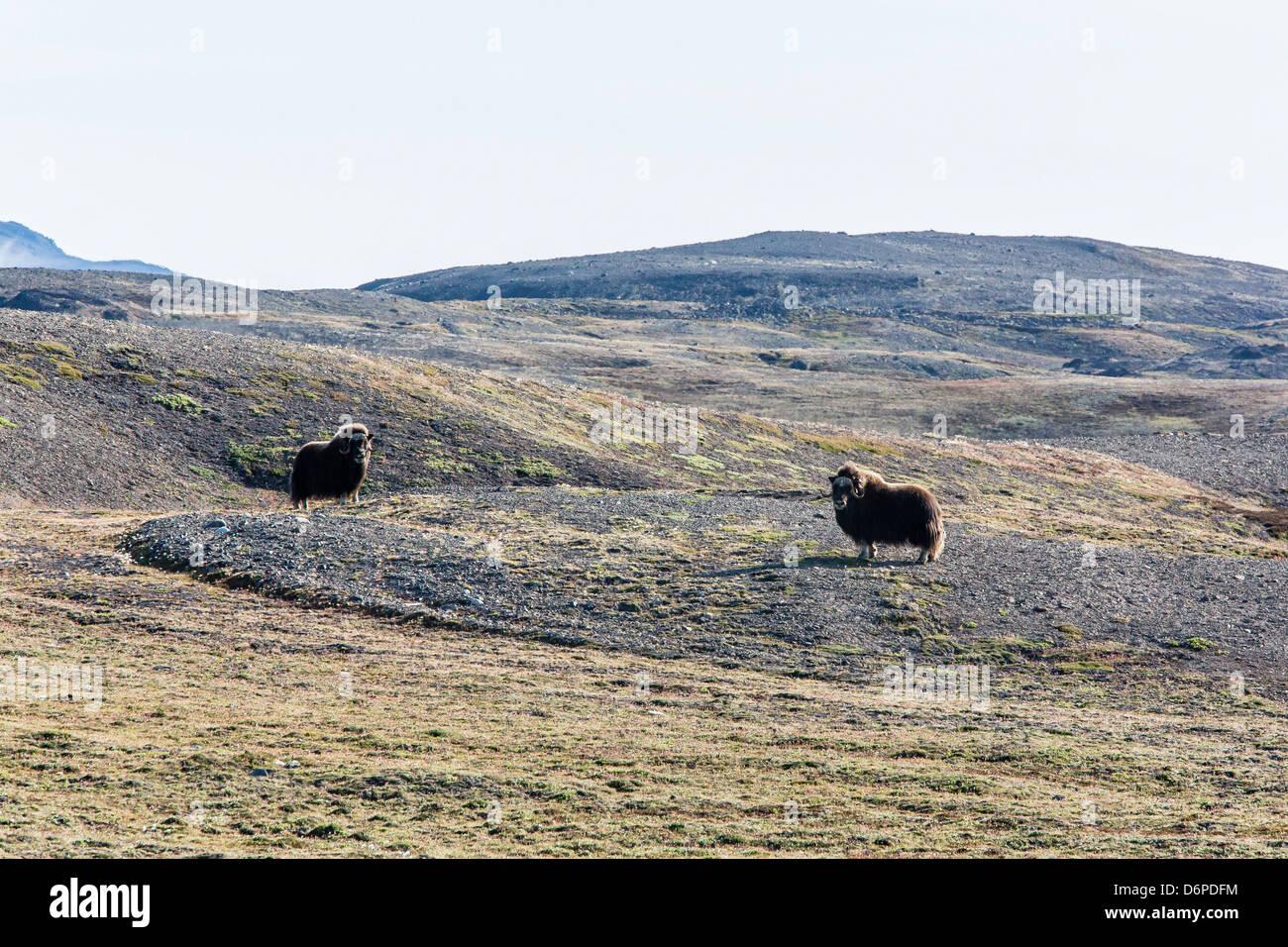 Bull le boeuf musqué (Ovibos moschatus), Myggebukta (Mosquito Bay), Christian X's Land, au nord-est du Groenland, les régions polaires Banque D'Images