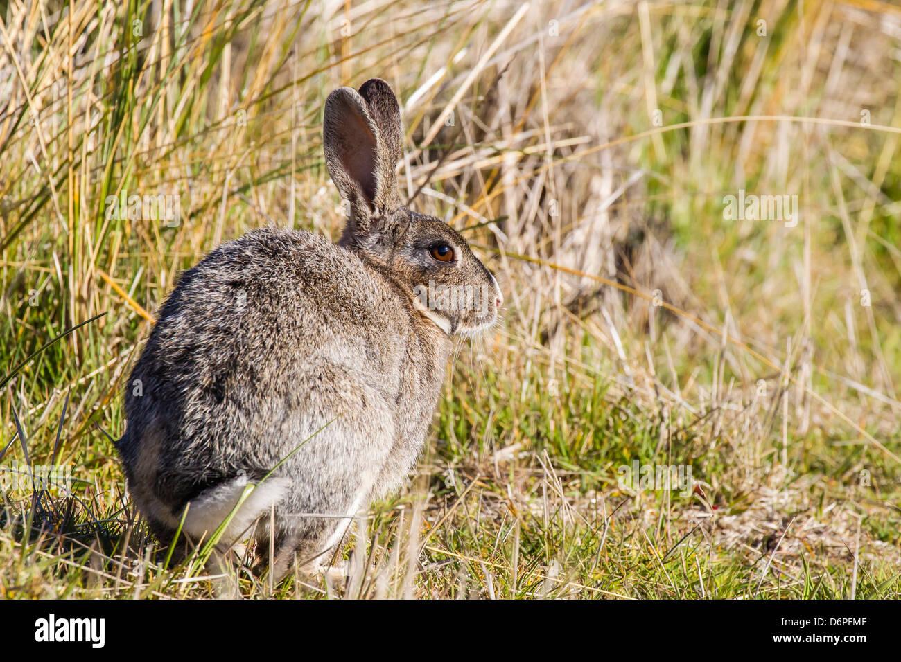 A présenté des profils lapin Européen (Oryctolagus cuniculus), nouvelle île, Falklands, Sud de l'océan Atlantique, Banque D'Images