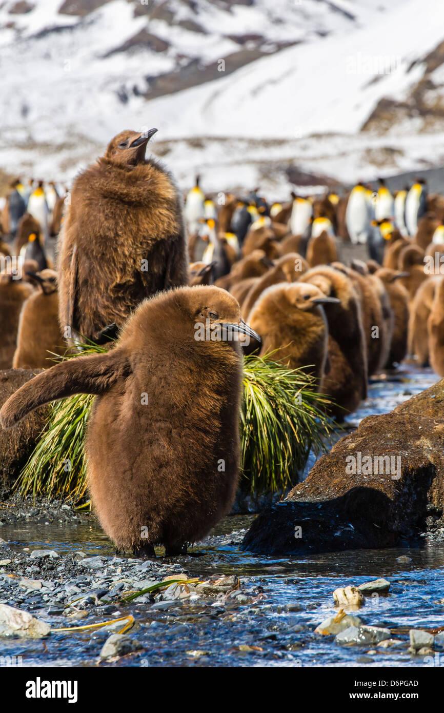 Manchot royal (Aptenodytes patagonicus) de poussins, de Gold Harbour, l'île de Géorgie du Sud, Sud de l'océan Atlantique, les régions polaires Banque D'Images