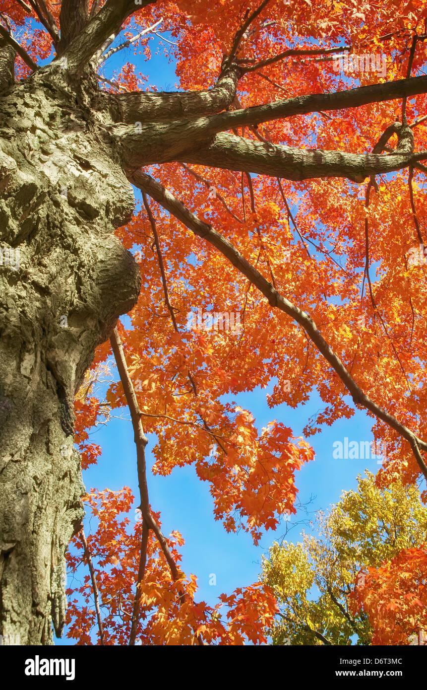 vue vers le haut de l'arbre d'automne avec des feuilles rouge orange