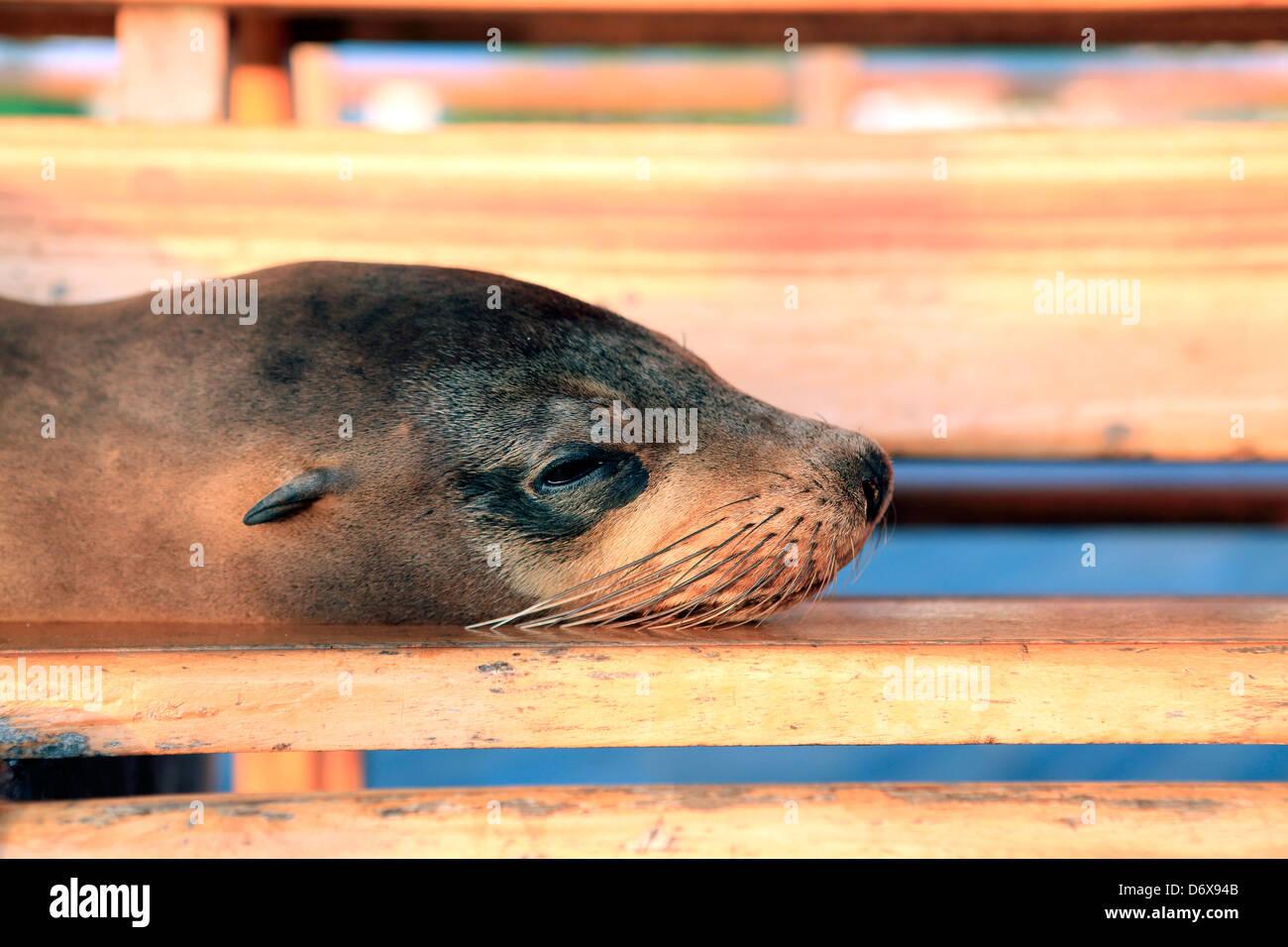 Sea Lion paresseux reposant sur les banc en bois siège dans les îles Galapagos Photo Stock