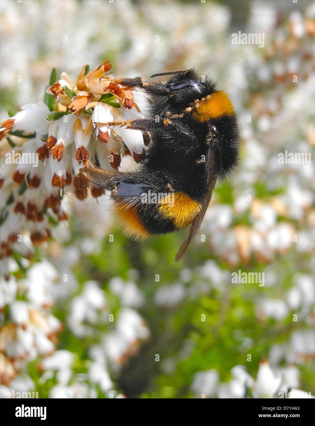 Bourdon bumblebee sur la bruyère fleur au début du printemps Banque D'Images