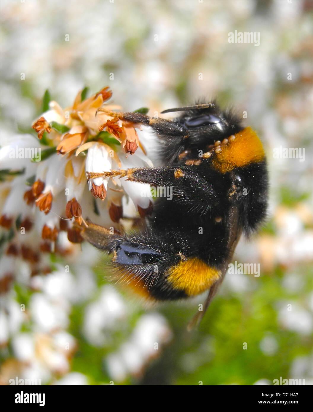 Bourdon bumblebee sur la bruyère fleur au début du printemps Photo Stock