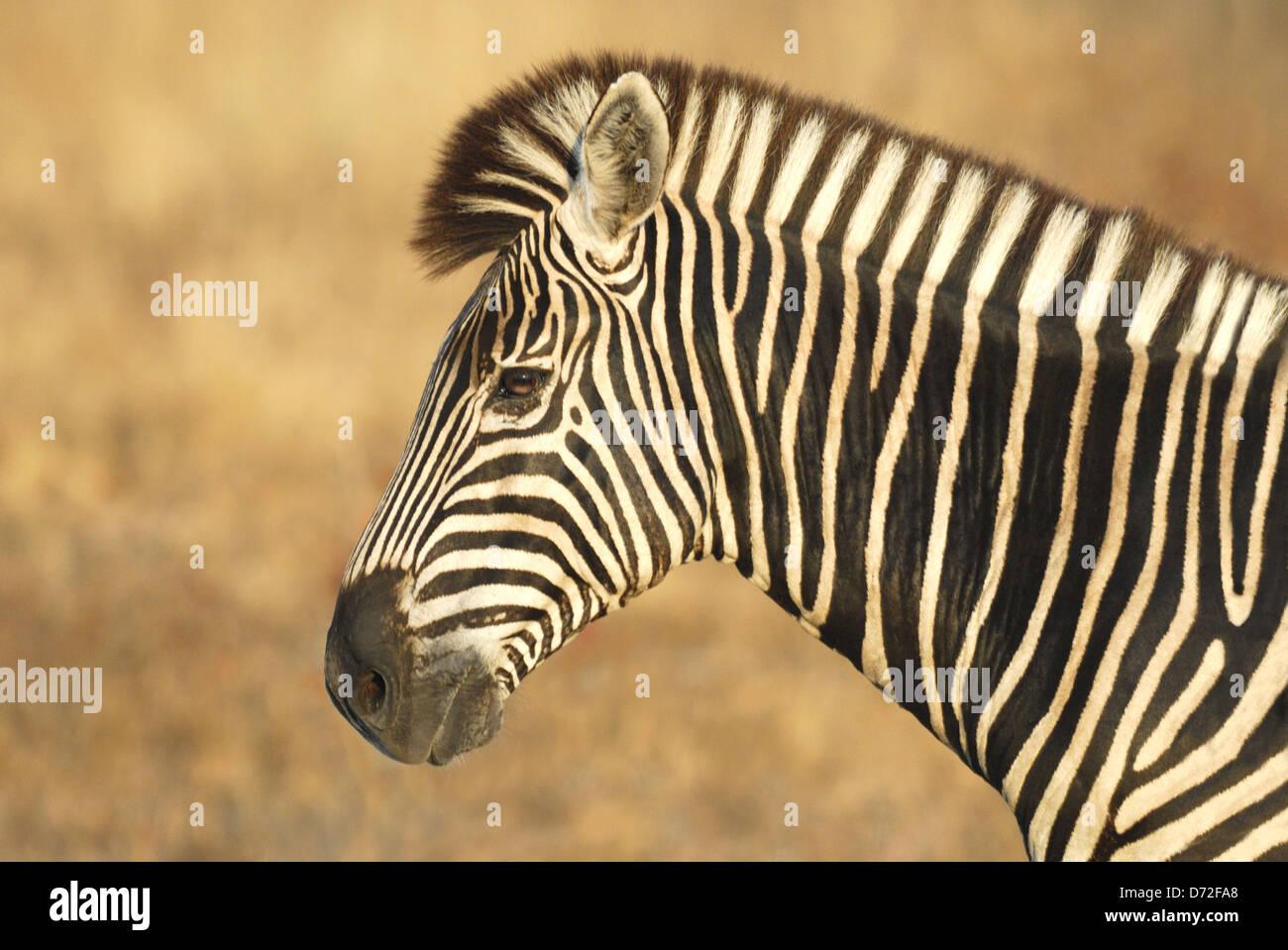 Homme le zèbre de Burchell (Equus burchellii) dans le parc national Kruger, Afrique du Sud Photo Stock