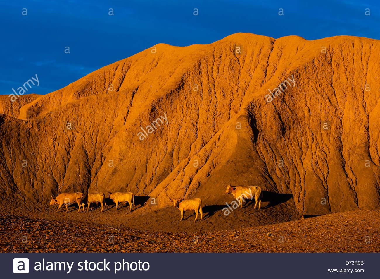 Texas Longhorn bovins avec un sol d'argile de bentonite (Hill) derrière, de l'étude (Butte) Terlingua, Photo Stock
