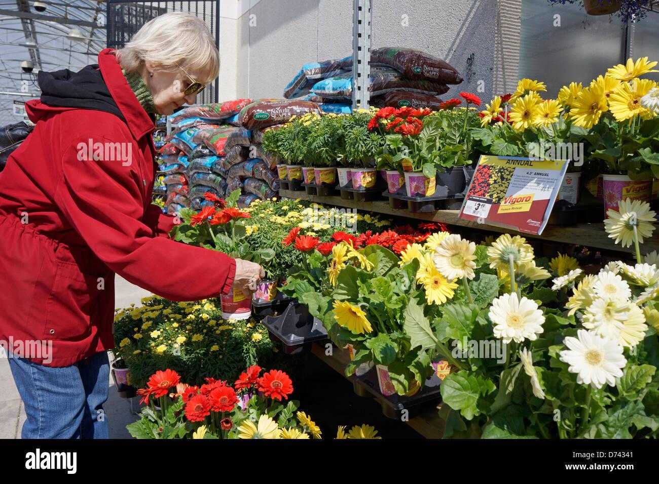 Centre de jardin, femme choisissant Gerbera Photo Stock