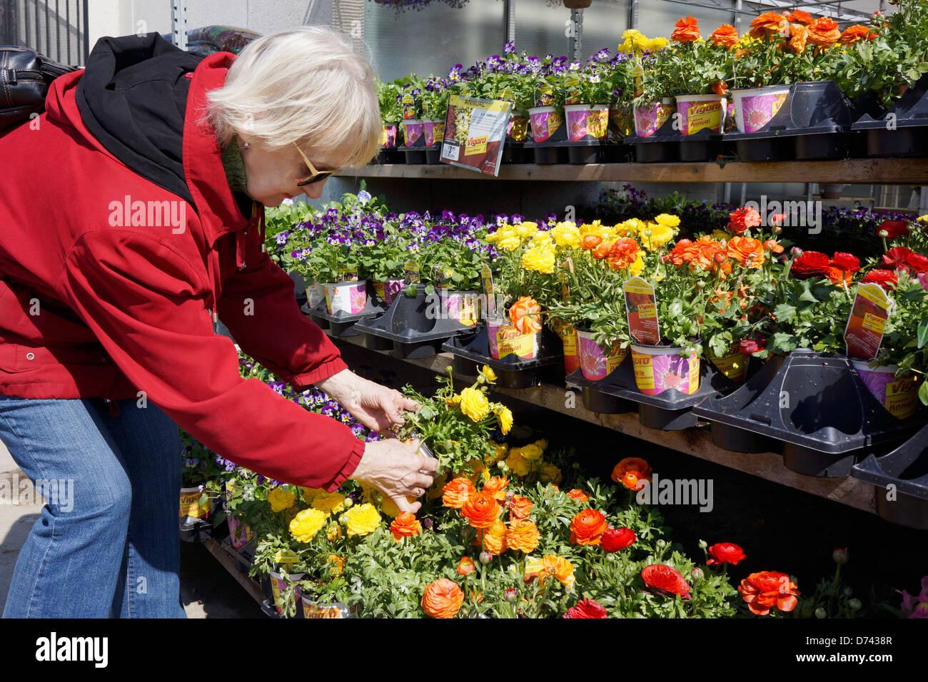 Centre de jardin, femme choisissant Ranunculus Fleurs Photo Stock
