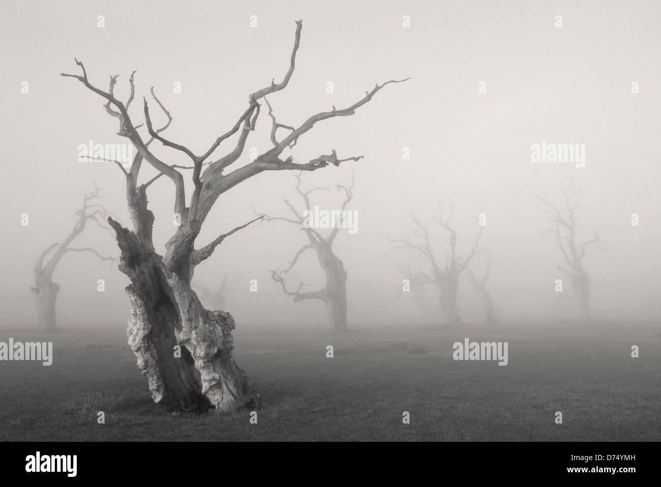 Les arbres de chêne pétrifié Photo Stock