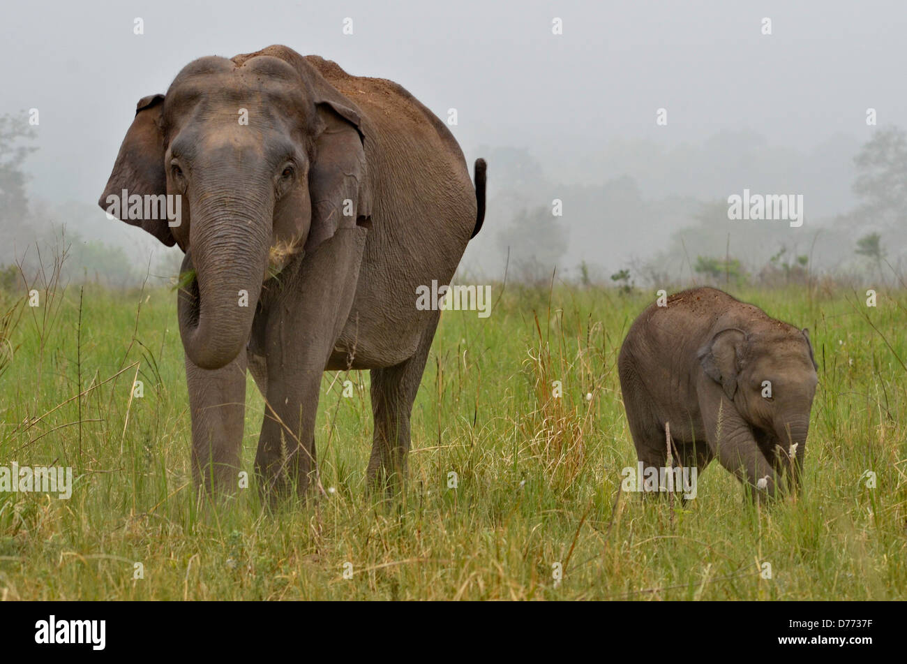 L'Inde Indian éléphant (Elephas maximus mère et son veau Photo Stock